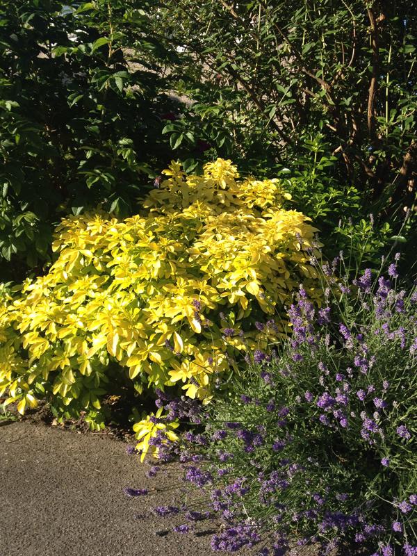 lavender-bush