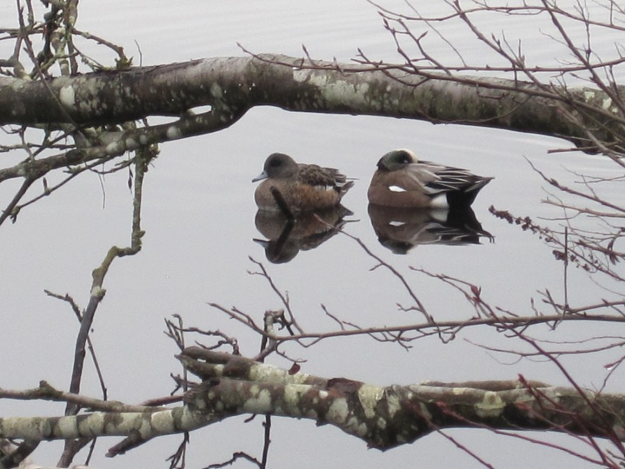 male and female wigeons