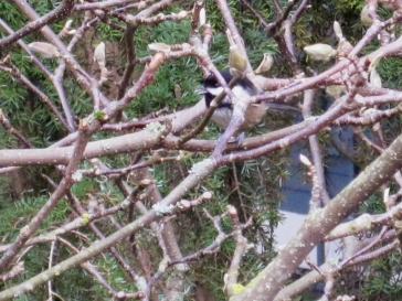 Chickadee in the magnolia tree, chirping.