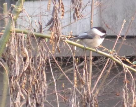 Chickadee in the bean tree. E & M rented house backyard. January 2015.