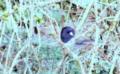 Dark eyed junco. Somewhat extreme selective color manipulations.