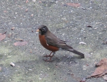 American Robin on driveway. The house E & M rented off Commercial Drive. January 2015.