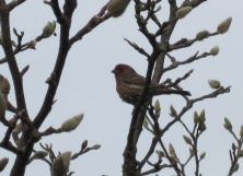 Male House Finch in magnolia tree. E & M rented house. January 2015.
