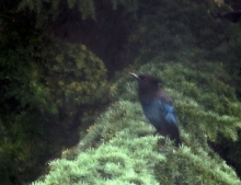 Steller's jay. E & M rented house. Through the kitchen window. Feb 2015.