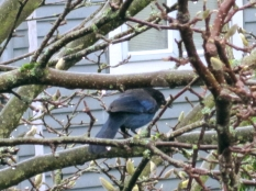Steller's jay in magnolia tree. I poked my head out the kitchen window to take this picture.