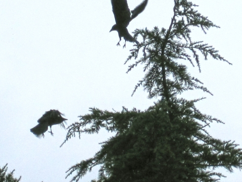 Northwestern crows. E & M rented house. Feb 2015.