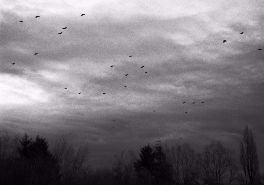 crows_migrating