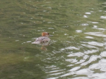 Immature male swimming and diving on north side of pond.