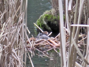 Nest viewed from behind cattails on south side of pond.