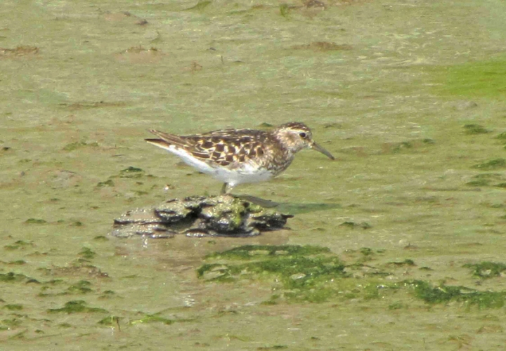 Least_sandpiper_july_2015b