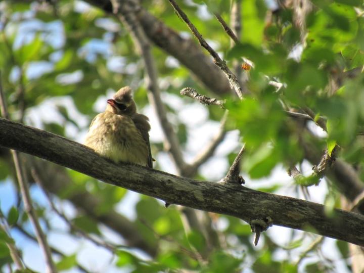 Juvenile Cedar Waxwing