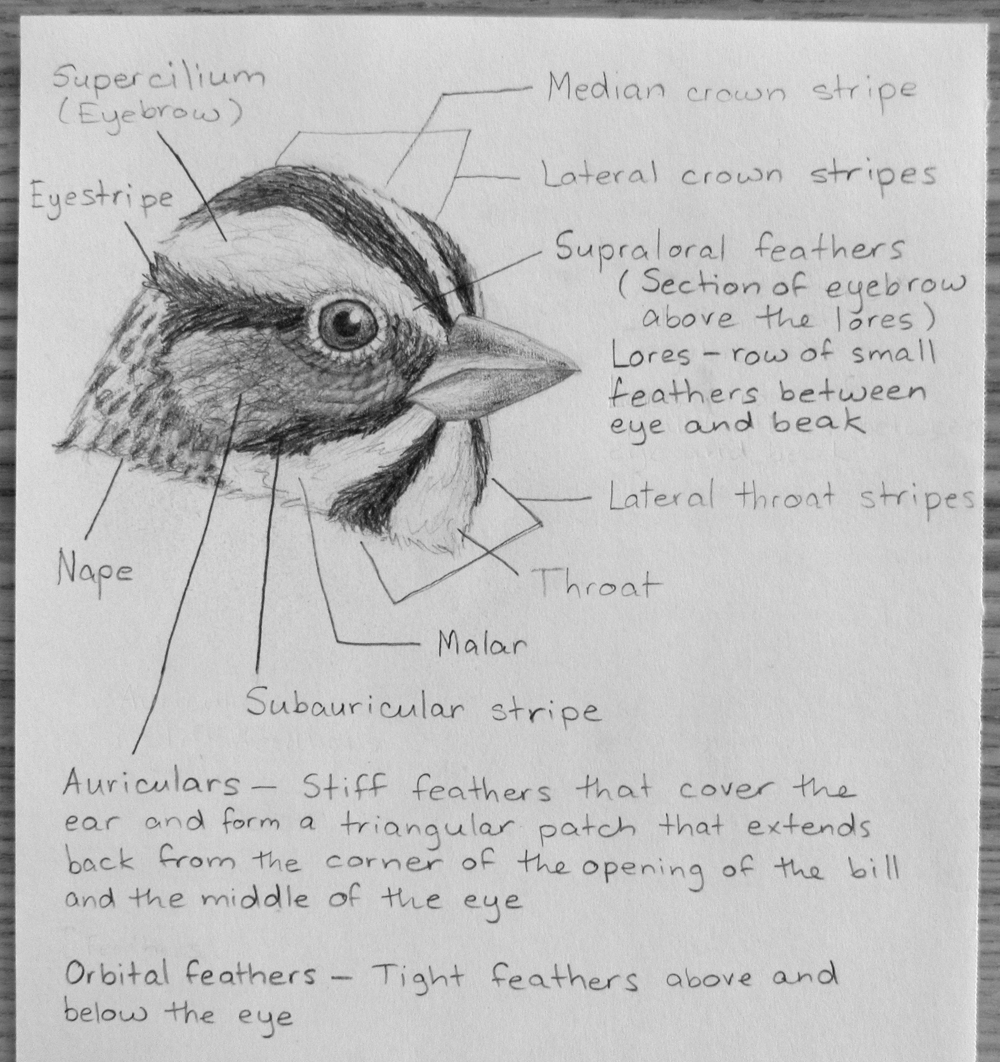 A little bird anatomy – feather groups of the head – Myr\'s Bytes