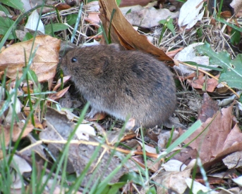 I am very cute. But if many like me live in an area, we can be very destructive to plants (we eat their roots and they die!). In small numbers, we are beneficial. Like other burrowing rodents, we disperse nutrients through upper soil layers and are food for many predators. [The human who is speaking for me learned this on Wikipedia.]