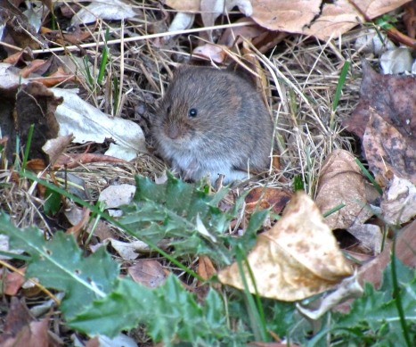 Hello! I am a vole.