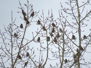 When I walked onto the grassy area north of the ponds, I heard a buzzing, sort of like that of large power lines but a bit different and a bit louder. So I looked up into some leafless Balsam Poplars. Big, big flock of Bohemian Waxwings... somewhere between 100 and 200.