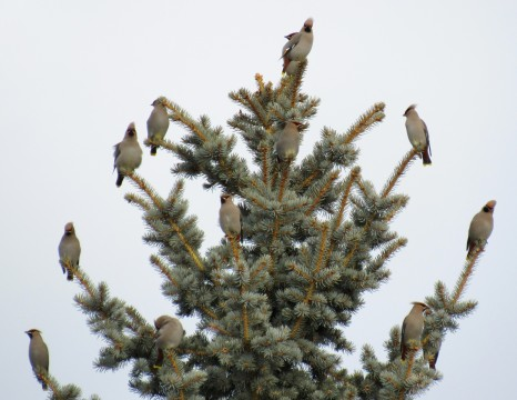 The last time I went to North Glenmore Park, on December 6th, I saw hundreds of Bohemian Waxwings. Yup! Hundreds!