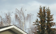 When I left the park, I was dismayed to find out I would have to wait 30 minutes for the next bus. But then I heard some Bohemian buzzing and looked up to find someone's backyard trees full of Bohemian Waxwings!