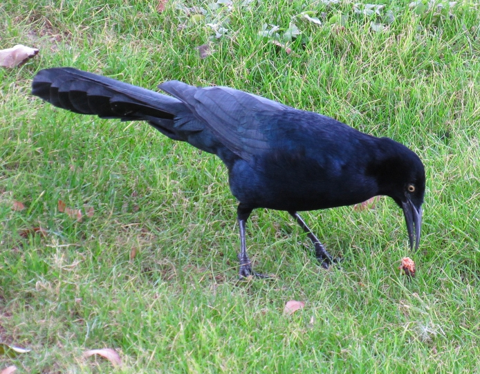 My first Arizona bird photo! J and I were waiting for our tasty breakfast at the Essence Bakery Café in Tempe when I saw this grackle on the lawn outside the café. So I sneaked outside with my camera for a few quick snaps.
