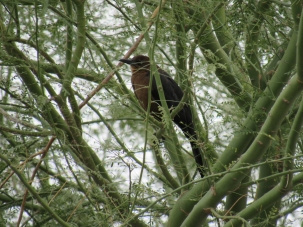 A female Great-tailed Grackle. Half the size of a male and a different colour! I saw this gal in a lovely Palo Verde tree while waiting in line at the McDonald's drive-thru.