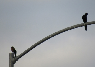 A male and female on a Mesa street light - Sunday morning from my in-laws' driveway. Because female Great-tailed Grackles are smaller than males, they need less food and therefore survive in greater numbers than males (allaboutbirds).