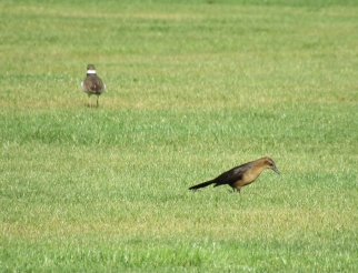 A female Great-tailed Grackle on the lawn of a neighbourhood park in Mesa. Killdeer and Mourning Doves were also pecking at the lawn (killdeer in the background).