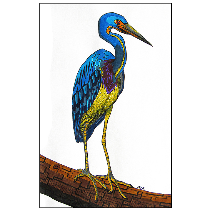 tricolored_heron_2