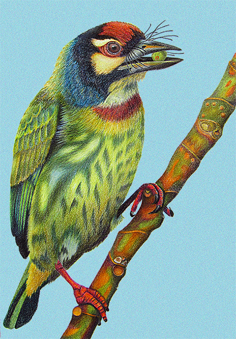 barbet_blue_background9