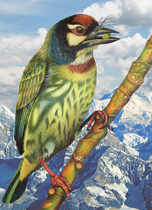 barbet_in_mountains