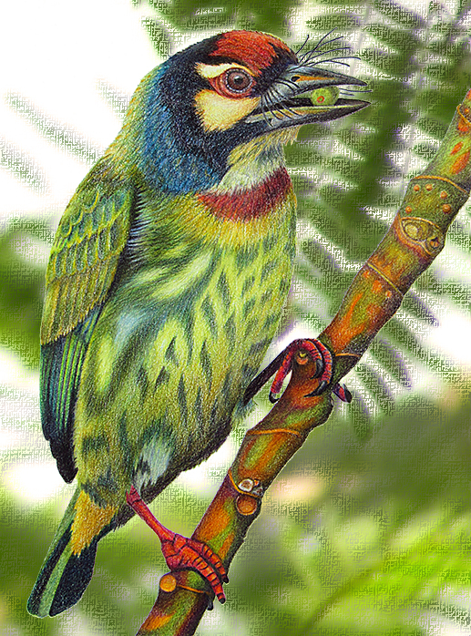 barbet_with_background11