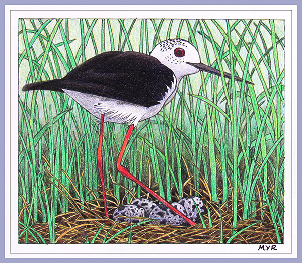 Black-winged Stilt - Pen and ink and colour pencils
