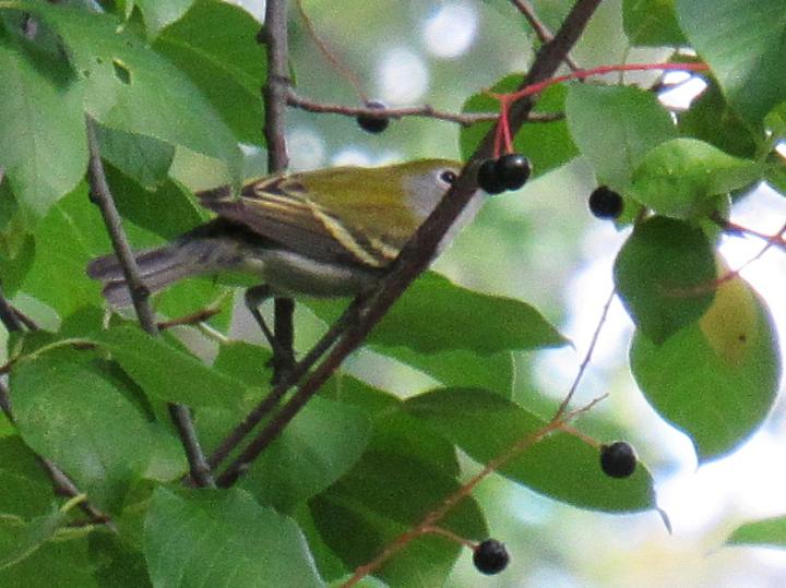 Juvenile Chestnut-sided Warbler