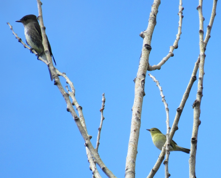 An olive-sided flycatcher and a Tennessee Warbler. Confederation Park, Calgary. August 25th, 2016.