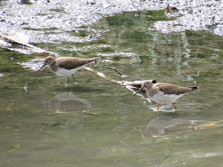 Two Solitary Sandpipers or a Solitary Sandpiper and a Lesser Yellowlegs. The shorebird on the right has bright yellow legs, while the other has greenish yellow legs, but both look like the same species otherwise.