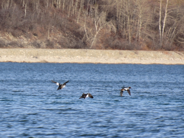 I watched some far-away Common goldeneyes fly off the reservoir...