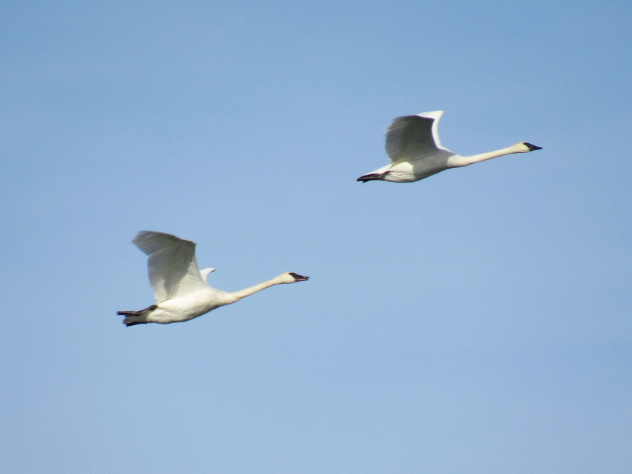 Trumpeter Swans flying over Glenmore Reservoir