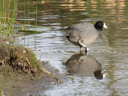 A coot was preening in the shallow water by the shore of Gwyndolyn's island.