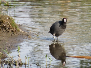 But he/she stopped when he/she heard a persistent series of croaky squawks. I remember them sounding like the first perturbation call on All About Birds: https://www.allaboutbirds.org/guide/American_Coot/sounds