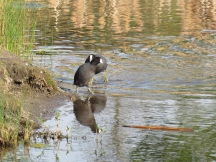 Another coot came a-squawkin'.