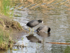 Mr. Coot was still a-squawkin' when Mrs. Coot put her head in the water. The time was 8:09:59.