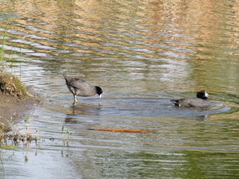One second later, Mr was swimming away from Mrs. How did he get there so fast??? Did you notice that Mr and Mrs have different coloured legs? My guess, based on a 1952 paper by Gullion, is she was less then 2 years old whereas he was more than 2 years old.