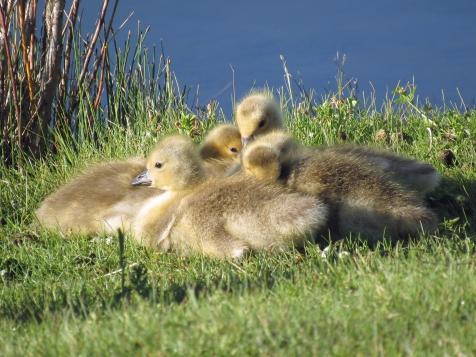 Gertie's goslings looking warm.