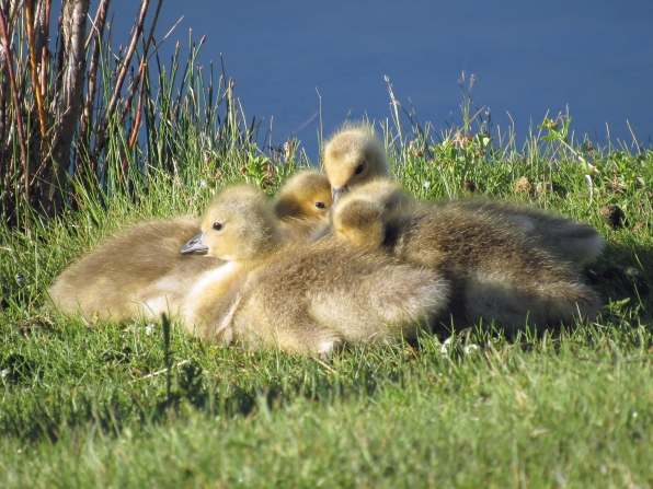 Gertie's goslings looking warm.