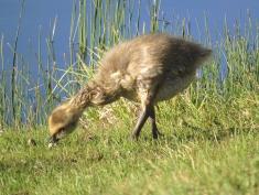 One of Gwyn's goslings looking wet!