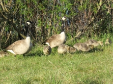 George, Gwyn and their gaggle of goslings.