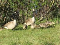 George, Gwyn and their gaggle of goslings.