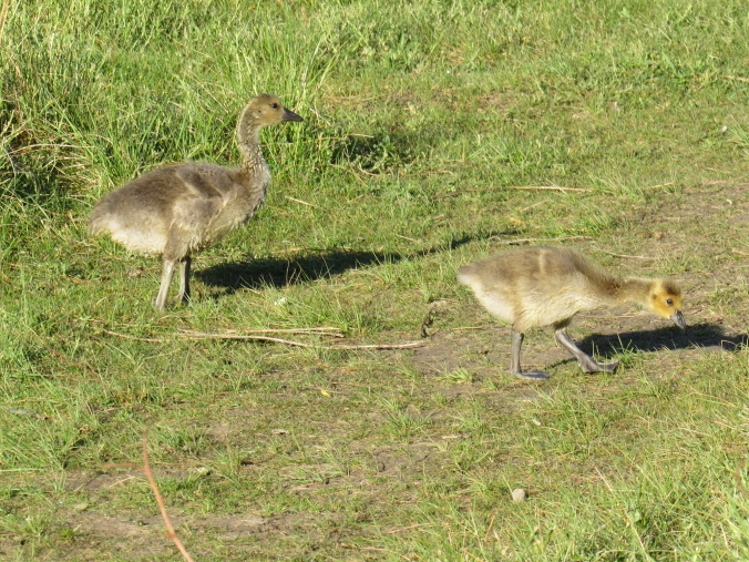 Two of Gwyn's goslings.