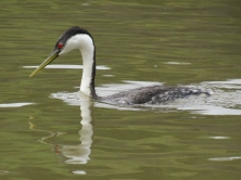 Oh! Head feathers back for diving. Western Grebes eat mainly fish which they catch by diving and swimming under water.
