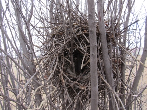 Most black-billed magpie nests I've seen were high up in large trees. This old, unused nest in the Inglewood Bird Sanctuary was in a bush, at eye level, so I got a peak at the mud cup inside.