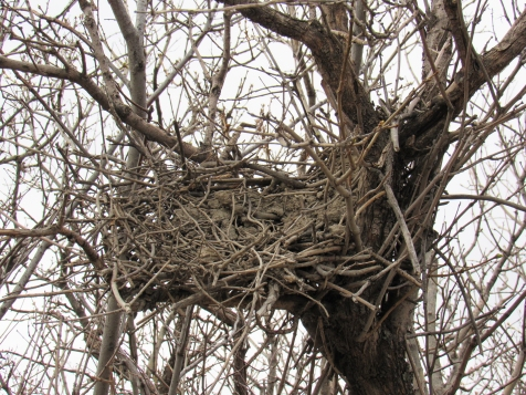 This old nest in the Inglewood Wildlands lost its top. Lots of dry mud on the bottom!