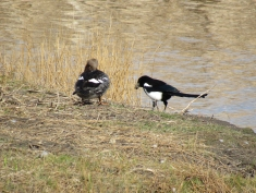 A black-billed magpie collecting mud for its nest at the Children's Hospital Pond, on April 5th. The magpie and the goldeneye are on Gwyndolyn's nesting island.